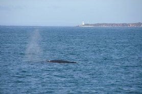 whales at Queenscliff